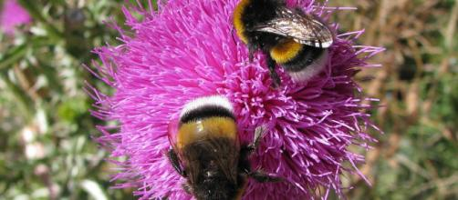Bumblebees foraging on a flower, taken at Bariloche, Argentina. [Image source/Juan Manuel, Wikimedia Commons]
