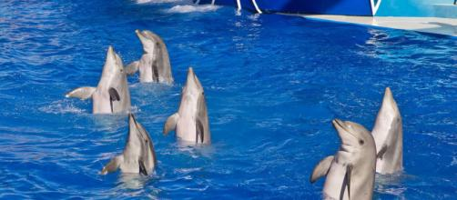 Jumping dolphins in SeaWorld San Diego. [Image source/Antoine Taveneaux, Wikimedia Commons]