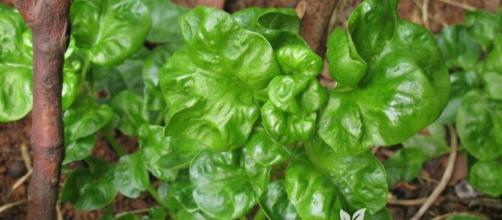 O espinafre é uma excelente fonte de nutrientes para auxiliar na memória. (Arquivo Blasting News)