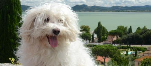 Los poodles y maltés se encuentran entre las principales razas domésticas. - pxhere.com