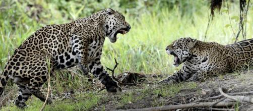 Jaguars in northern Pantanal. [Image source/Wolves201 Wikimedia Commons]