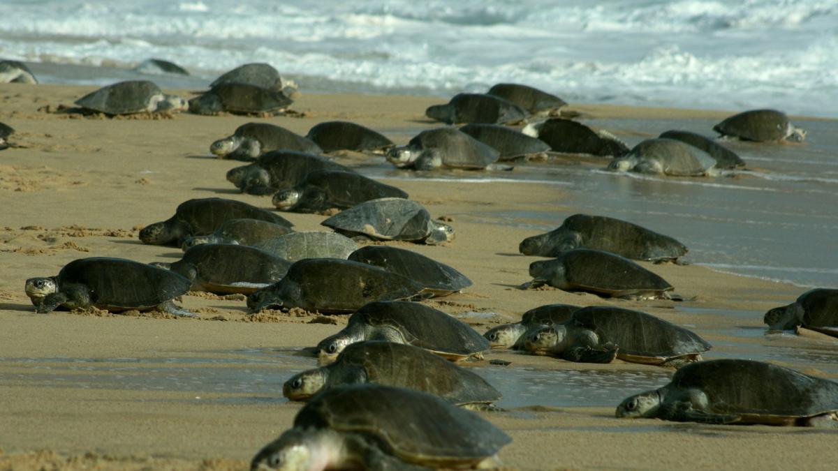 Miles de tortugas anidan en playas de la India vacías por la ...