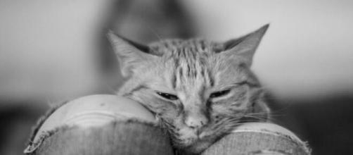 chat : s'il dort sur vos genoux ce n'est pas seulement pour vos vêtements
