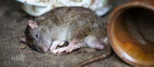 Ratos estão praticando 'canibalismo' em meio a falta de comida nesse pandemia. (Arquivo Blasting News)
