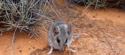 Kangaroo Island dunnart endangered after Australia bushfires. [Image source/EBS Group YouTube video]