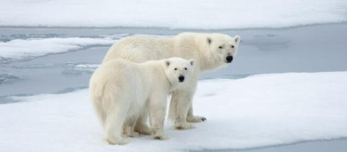 Orsi polari e ghiacci nell'oceano Artico.