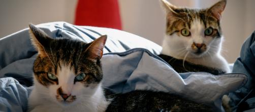 Aux États-Unis, les deux premiers animaux domestiques testés positifs au Covid-19 sont des chats. Pexels/Francesco Ungaro