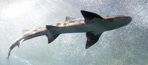 Muitos tubarões gigantes e assustadores são considerados inofensivos. (Reprodução/Pixabay)