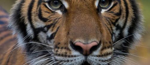 Coronavirus, tigre positiva allo zoo del Bronx a New York.
