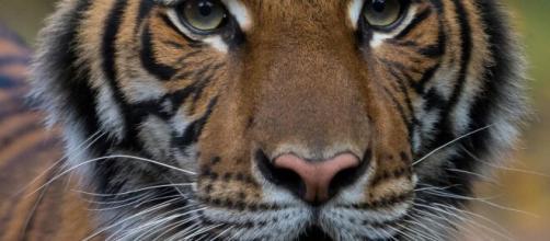 Un tigre del Zoológico del Bronx dio positivo por Covid-19.