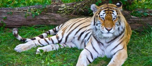 Uno de los tigres del Zoo del Bronx. La tigresa Nadia, su hermana Azul y otros seis felinos tienen coronavirus. (Foto de Chris Costello/Flickr)