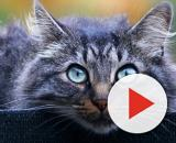 Cientistas chineses descobrem que gatos podem ser infectados pelo coronavírus. (Arquivo Blasting News).