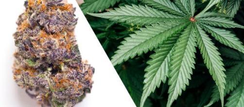 El cannabis medicinal podría prevenir el ingreso del coronavirus al organismo.