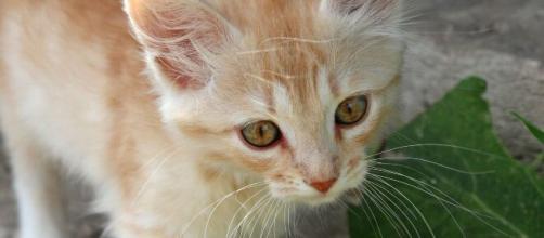 chat roux d'illustration (source : Pixabay)