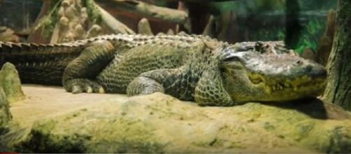 Saturn the World War II alligator dies in Moscow Zoo aka Adolf Hitler's Pet Alligator. [Image source/Epic News YouTube video]