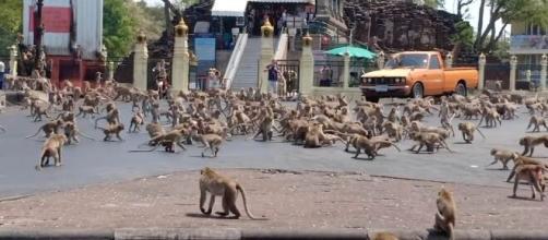 Ao redor do mundo, macacos têm invadido o habitat humano com a quarentena. (Arquivo Blasting News)