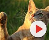 chat : comment savoir s'il est gaucher ou droitier ? Photo Pixabay