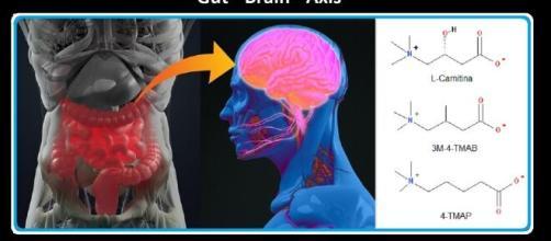 Identificati due metaboliti, prodotti dal microbiota intestinale, che nel cervello possono interferire con delle funzioni della carnitina.