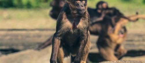 Se escapan una manada de monos con muestras humanas del coronavirus