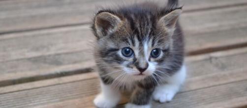 chaton gris et blanc, tout mignon | Chat gris et blanc, Chaton ... - pinterest.ru