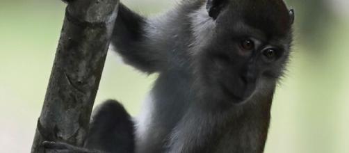 Antes de ensayar la vacuna del coronavirus en humanos, debe pasar por los primates.