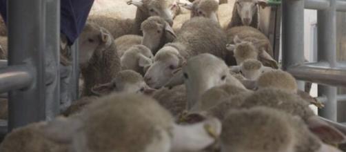 Los corderos españoles enviados a Arabia Saudí viajan hacinados. Fuente: Igualdad Animal