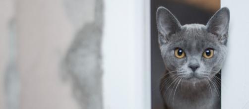 Le chat atteint du Covid-19 est guéri - photo pixabay