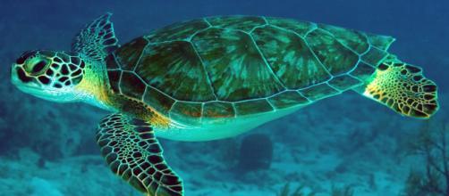 Tartaruga verde é vista aos milhares para fazer seus ninhos na Austrália. (Arquivo Blasting News)