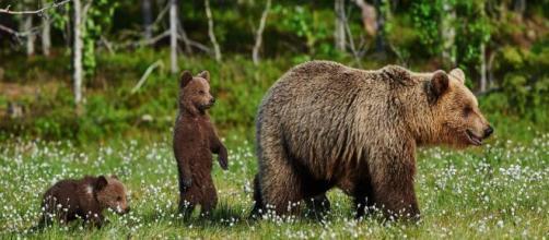 Pese a que es una especie protegida, la presencia del oso pardo atemoriza a los granjeros.
