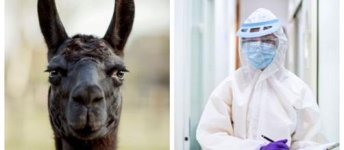 Los anticuerpos de las alpacas podrían ayudar en la lucha contra el coronavirus