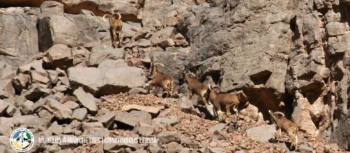 Mouflons à manchettes, proies habituelles du guépard saharien. Crédit photo : PPCA