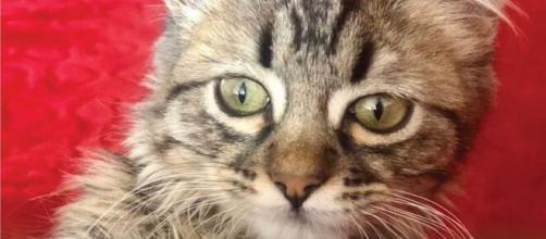 Lee, un petit chaton qui est au coeur d'une polémique entre la Belgique et le Pérou malgré lui (source : capture Twitter Perú.21)