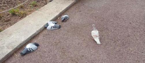 Decenas de palomas han aparecido muertas en las calles de Barcelona.