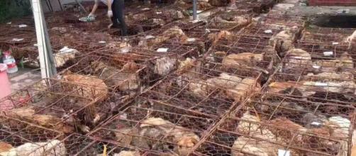 Cães são abatidos para consumo em festival chinês. (Arquivo Blasting News)