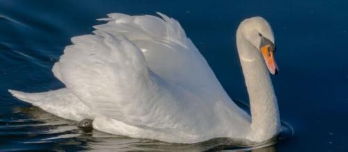 Televisión /Un cisne muere por pena tras el ataque de unos gamberros a su nido