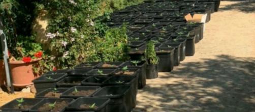 La piantagione di marijuana è stata scoperta dai Carabinieri nelle campagne di Sestu.