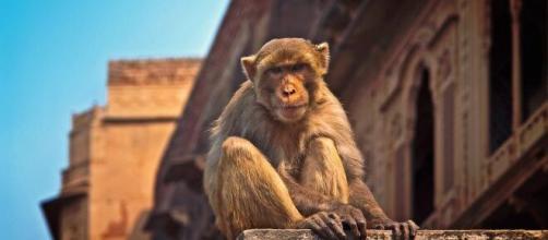 Un mono borracho mata a un hombre y hiere a 250 personas.