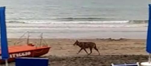 Otranto, un lupo azzanna una bimba di sei anni mentre giocava poco distante dalla spiaggia.