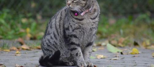 Arezzo, gatto affetto da Lyssavirus ha morso la padrona ed è morto subito dopo.