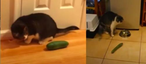 chat : plusieurs raisons expliquent pourquoi ils ont peur des concombres - captures d'écran vidéo YouTube