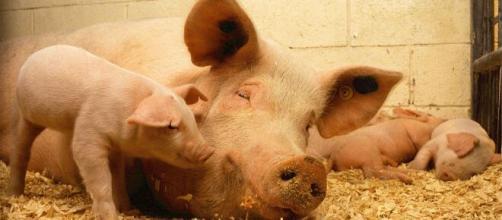 Cientistas chineses identificam novo vírus da gripe em porcos. (Arquivo Blasting News)