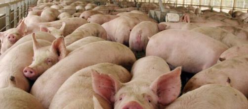 Enfermedades / China emite alerta sobre gripe porcina que podría originar otra pandemia