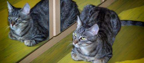 6 curiosità sui gatti: non si riconoscono allo specchio.