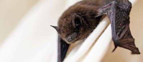 Se encuentran nuevos tipos de coronavirus en murciélagos