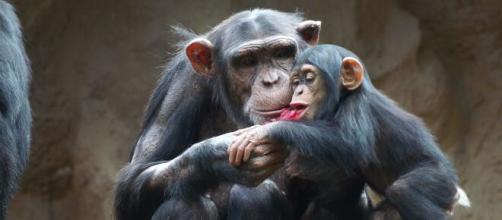 La cría de chimpancé 'Happy' en una imagen de archivo