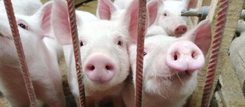 Fiebre aftosa porpagada por cerdos en China