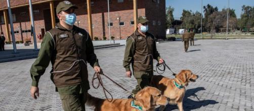 Au Chili, des chiens dressés pour détecter les malades du Covid-19 - Photo capture d'écran twitter