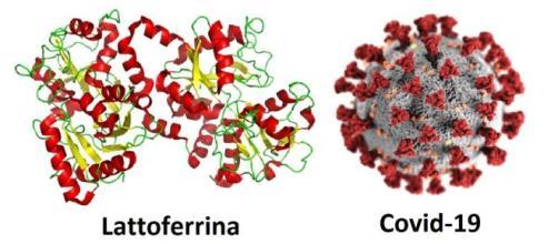 Una glicoproteina presente nel colostro e nel latte vaccino può prevenire le conseguenze del coronavirus.