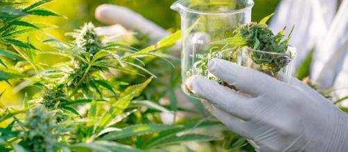 Associação ganha direito de produzir óleo de cannabis. (Arquivo Blasting News)