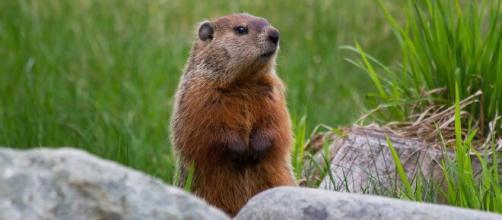 Jovem na Mongólia morre de peste bubônica depois de comer carne de marmota. (Arquivo Blasting News)
